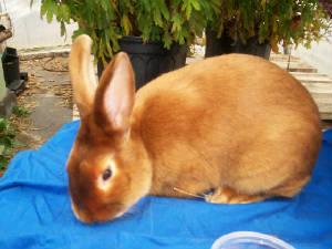 July 18th 2006Red Mini Satin Rabbit